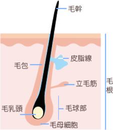 毛髪の構造